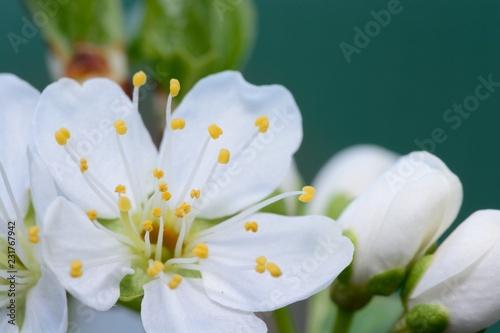 Fotografie, Tablou  Macro shot of sloe blossom