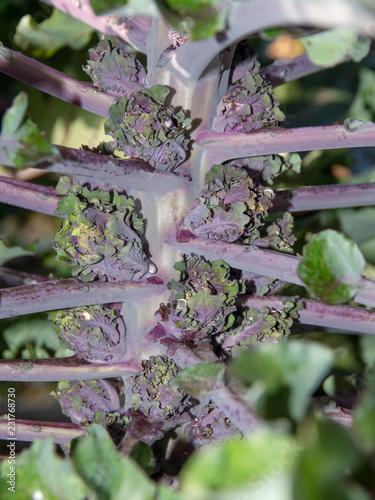 Flower sprout – Kohl – Kalette. Stiel mit Sprossen. Wassertropfen