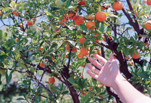 Hand Reaching Towards An Orange Tree On A Bright Sunny Day