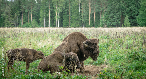 In de dag Bison large male of american bison in the national park Priokskiy