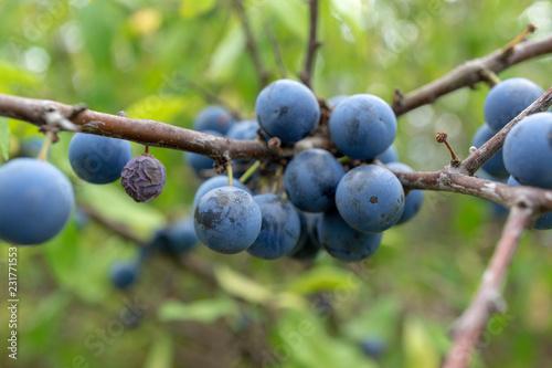 Photo  wild berries. Prunus spinosa, called blackthorn or slow.