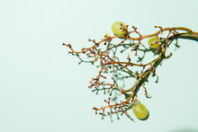 Green Grapes On Green Background