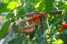 Close Up Of Cherry Tomato In T...