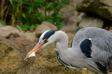Portrait Of A Heron Eating A Fish