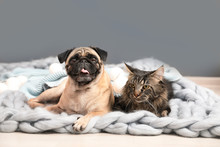 Cute Cat And Pug Dog With Blan...