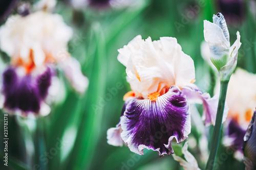 In de dag Iris Iris aux couleurs vives