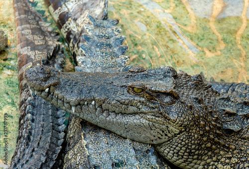 Fotobehang Krokodil Crocodile in the farm