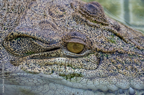 Deurstickers Krokodil Crocodile in the farm