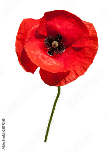 Tuinposter Poppy Beautiful wild red poppy isolated on a white background.