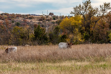 Wild Texas Longhorns At The Wichita Mountains Wildlife Refuge, Located In Southwestern Oklahoma