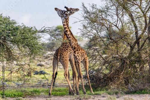 Photo  giraffes in love