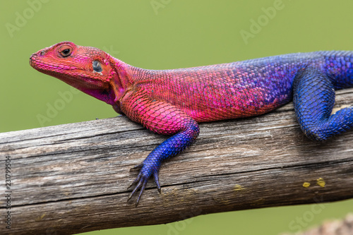 Photo  pink and purple lizard