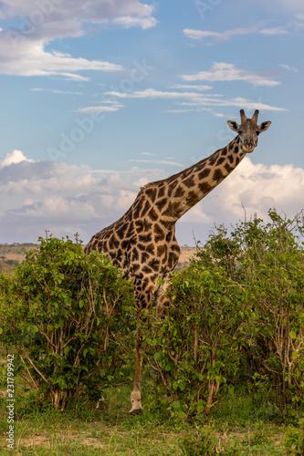 Photo  giraffe in the wild
