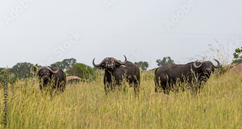 Deurstickers Buffel buffalo in field