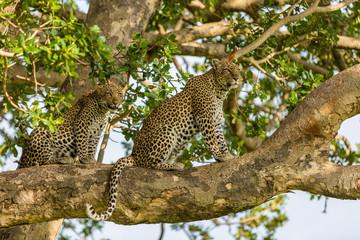 leopardi u drvetu