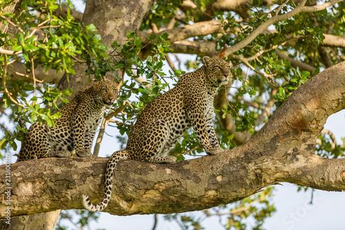 Valokuvatapetti leopards in tree