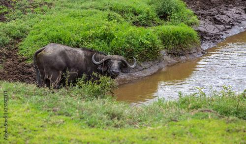 Keuken foto achterwand Buffel Buffalo wading in water