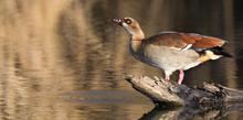 Egyptian Goose Sitting On A Lo...