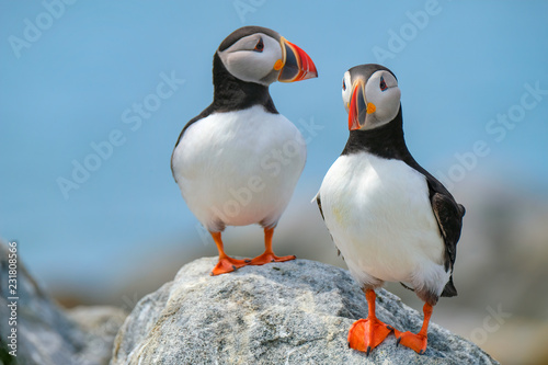 Photo Atlantic Puffins, Machias Seal Island