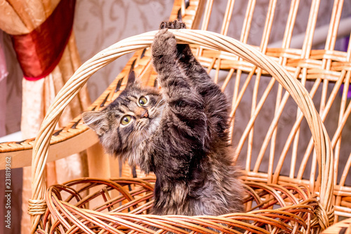 Fotografie, Obraz  A small striped playful cat in a wicker basket clinging for a basket handle