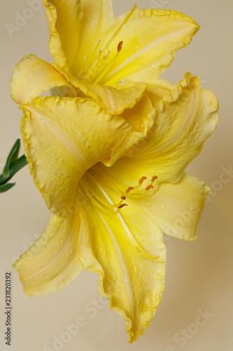 Garden Poster Narcissus Yellow daylily flower on a beige background.