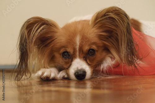 Fotografie, Obraz  Cheerful purebred papillon lies on the floor in the room and carefully looks