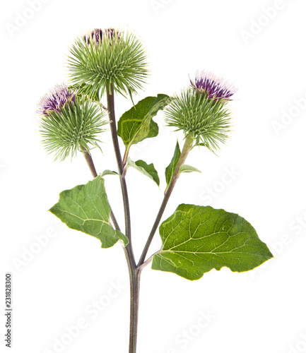 Vászonkép burdock isolated on white background