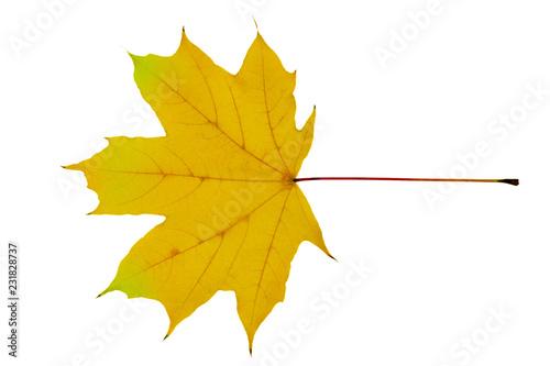 Fotografie, Obraz  Yellow maple leaf as an autumn symbol