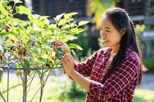 Asian Young Woman Farmer Picking Mulberry Fruit