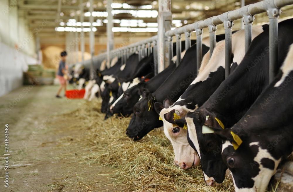 Fototapeta 牧草を食べる牛舎の牛