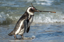 African Penguin Walk  On The Sandy Beach And Carries A Twig For Building A Nest. Nesting Period. African Penguin Also Known As The Jackass Penguin And Black-footed Penguin. Spheniscus Demersus.