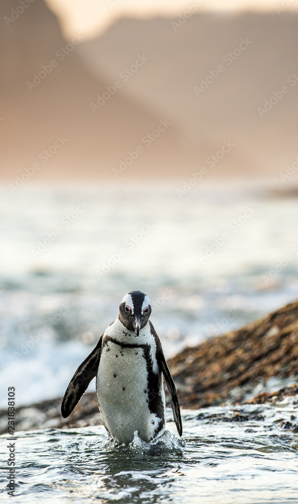 African penguin on the coast at sunset twilight. African penguin ( Spheniscus demersus) also known as the jackass penguin and black-footed penguin. Boulders colony. Cape Town. South Africa