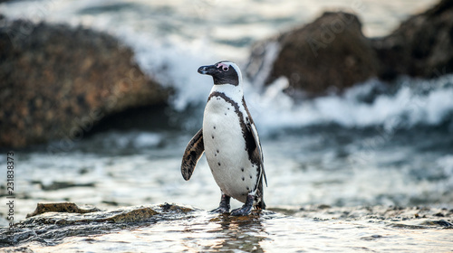Foto op Aluminium Pinguin African penguin on the coast at sunset twilight. African penguin ( Spheniscus demersus) also known as the jackass penguin and black-footed penguin. Boulders colony. Cape Town. South Africa