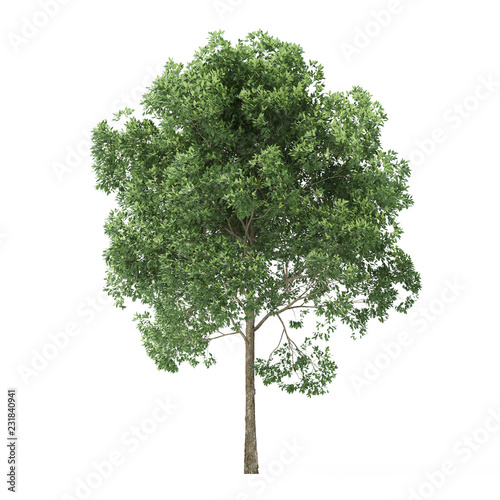 Alder. Tree isolated on white background. 3D rendering. Canvas Print