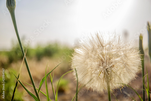 dandelion and weeds growing on the field