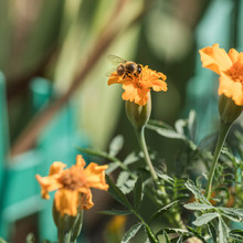 Flowers Of Marigolds And A Bee On A Flower