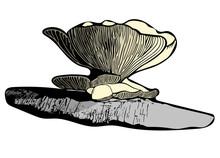 Oyster Mushroom Vector 1