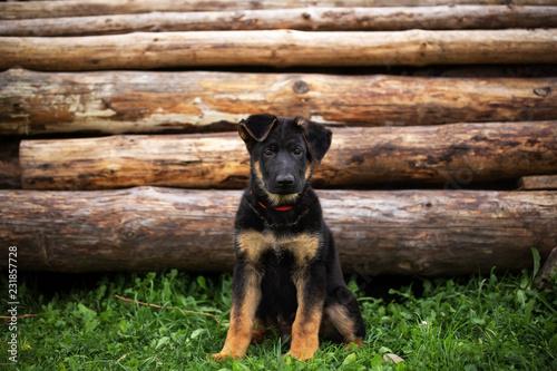 German shepard puppy Fototapeta
