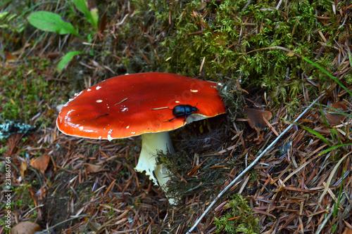 Fotografie, Obraz  amanite phalloïde, agaric de mouche, champignon vénéneux et psychotrope rouge et