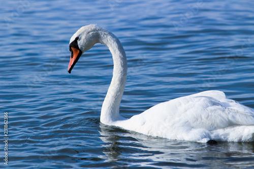 Keuken foto achterwand Zwaan Swan on Balaton lake