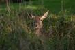 Rothirsch-kuh im Gras (Cervus elaphus)