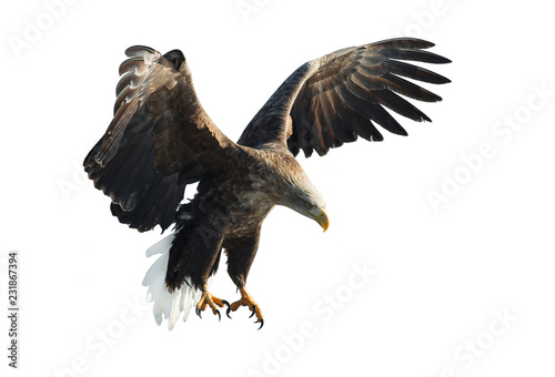 Poster Aigle Adult White-tailed eagle in flight. Isolated on White background. Scientific name: Haliaeetus albicilla, also known as the ern, erne, gray eagle, Eurasian sea eagle and white-tailed sea-eagle.
