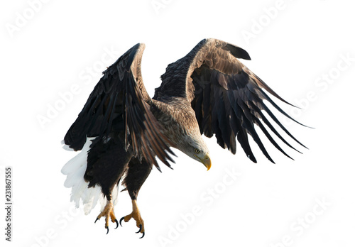 Papiers peints Aigle Adult White-tailed eagle in flight. Isolated on White background. Scientific name: Haliaeetus albicilla, also known as the ern, erne, gray eagle, Eurasian sea eagle and white-tailed sea-eagle.