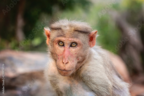 Foto op Plexiglas Aap Rhesus Macaque little monkey at Arunachala mountain in Tiruvannamalai, Tamil Nadu, India