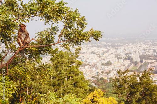 Foto op Aluminium Aap Rhesus Macaque little monkey at Arunachala mountain in Tiruvannamalai, Tamil Nadu, India