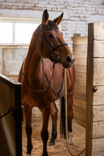 Bay Harnessed Horse Standing In The Stall