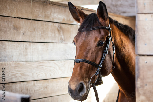 Fotografia Bay harnessed horse standing in the stall
