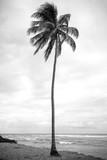 drzewo kokosowe w czerni i bieli - 231885367