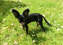 Little Black Mixed Dog Is Walking In The Garden