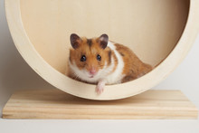 Syrian Hamster Play With An Ha...